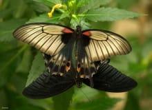 apareamiento en vivo de mariposas, naturaleza en vivo para toda la familia