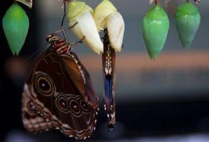 Proceso de las mariposas de cómo pasan de crisálida a mariposa