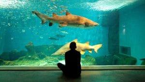 disfrutar del tiburón toro en un gran tanque con mas de 9 metros de profundidad