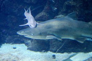 en el Aquarium finisterrae disfrutarán del impresionante tiburón
