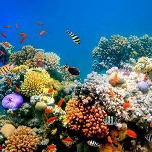 en los arrecifes de coral podemos ver y descubrir especies tan sorprendentes como los peces payasos entre las anémonas