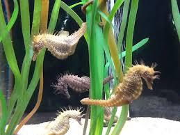 los caballitos de mar en sea life, un nuevo mundo por descubrir