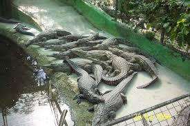 crocodile park, un parque temático y zoológico dónde descubrir la vida de estos animales que han sobrevivido a los dinosaurios.